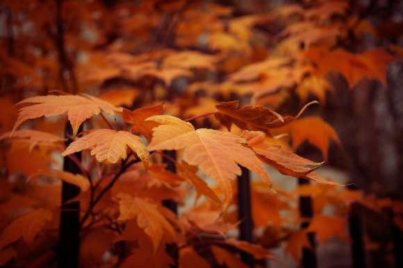 Autumn-Leaves,-Wrought-Iron-fence-2009